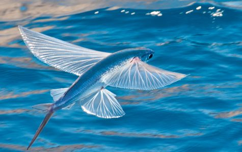 Port Press Face Off: Are Flying Fish An Affront to Nature?