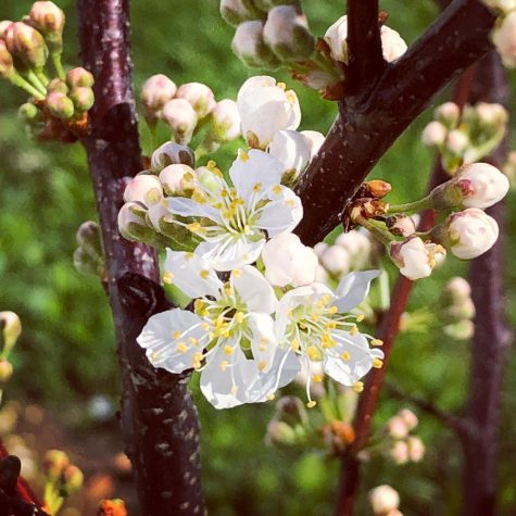 Beautiful Beach Plum (Matt G)