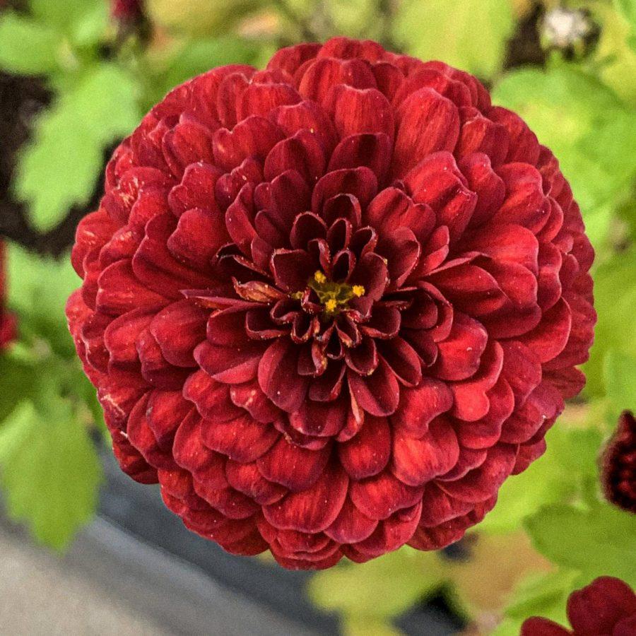 Crisantemo Marrone Rossiccio