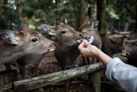 The sika deer native to Japan's Nara Park are dependent on visitors feeding them with provided crackers.